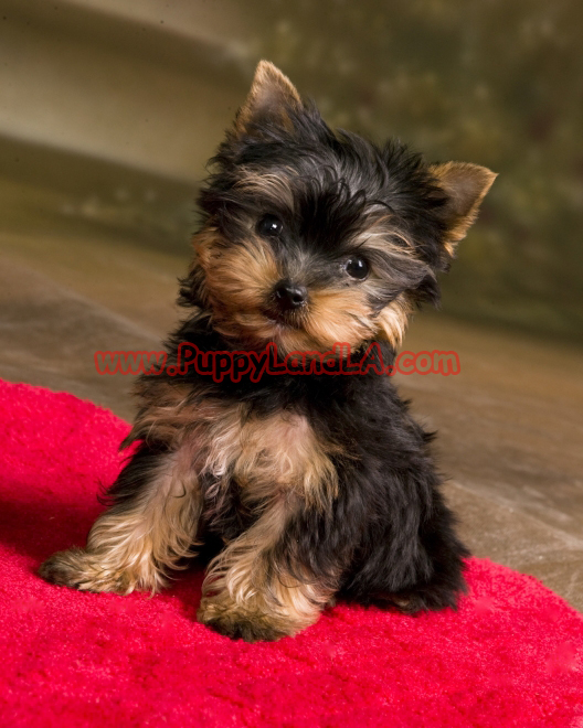 com specializing in yorkshire terriers maltese yorkshire terrier mochi