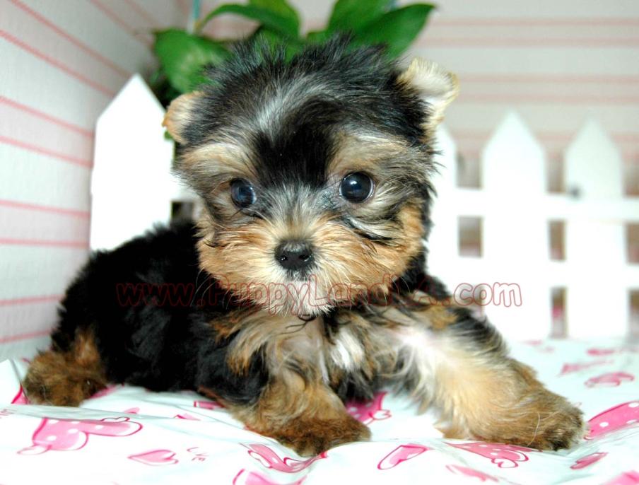 Yorkie Yorkie Puppies Yorkie Breeder Teacup Yorkie Puppies Yorkie