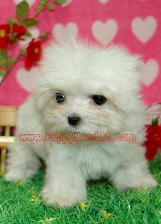Maltese Puppies For Sale In New Zealand Maltese Puppies For Sale In ...