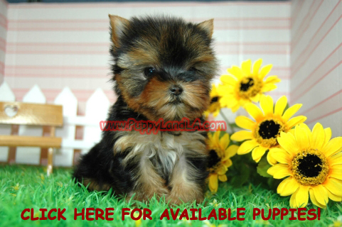 PuppyLandLA, Yorkie, Maltese, Toy, Teacup, Puppies, Breeders