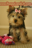 puppy teacup yorkie